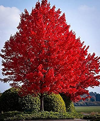 Red Maple Tree Seeds 40 Seeds Upc 643451295795