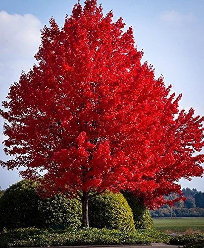 Red Maple Tree Seeds 40 Seeds Upc 643451295795 (Maple Tree Red)