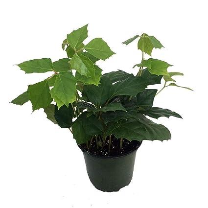 Amazon.com : G Ivy Plant - Cissus rhombifolia - Great ... on codium plant, medinilla plant, barleria plant, epipremnum plant, dioscorea plant, coccoloba plant, dorstenia plant, chirita plant, kiwi fruit plant, calendula officinalis plant, fiddle leaf plant, veltheimia plant, brassaia plant, bursera plant, adromischus plant, rhapis plant, cocculus plant, calandrinia plant, asystasia plant,