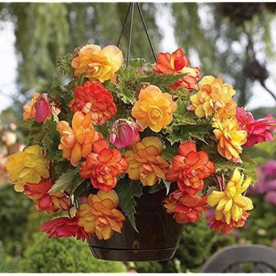Van Zyverden Golden Balcony Hanging Basket Begonias Bulbs (Set of 5), Yellow Orange