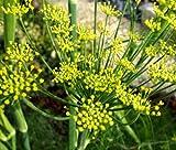 FENNEL FLORENCE ORGANIC Anise Foeniculum Vulgare - 100 Bulk Seeds