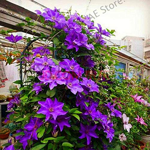 Seed Time-Limit!!100pcs/bag Clematis Flower Clematis Vines Bonsai Flower Plantas Perennial Flowers Climbing Clematis Plants F
