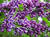 "9-14"" - Potted Plant The Most Fragrant Lilac - PURPLE OLD FASHION LILAC BUSH"