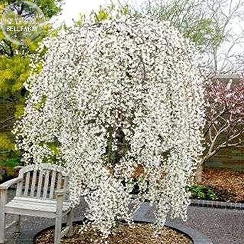 (Go Garden BELLFARM Bonsai Snow Fountain Weeping Cherry Tree Home Garden Dwarf Tree Drought Tolerant Hardy High Germination -20pcs/Pack)