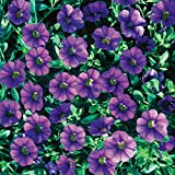 40 CALIBRACHOA Million Bells Trailing Blue Live Plants Plugs DIY Planter BIN 333