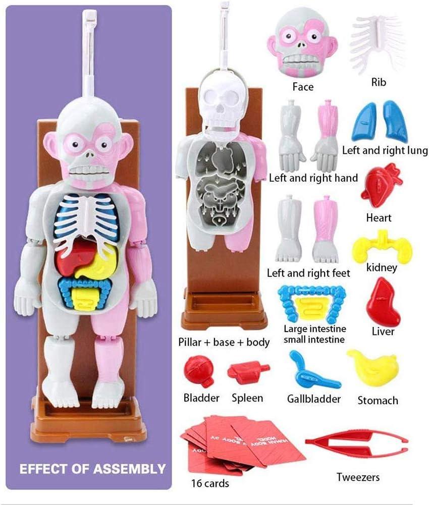 DDT 4D Ensamblado Modelo Educativo Juguetes Anatomía Humana Modelo con 16 Cartas Y Piezas Extraíbles para Niños Niños Muchachas Escritorio Juego
