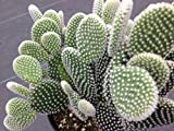 Opuntia microdasys Angel Wings