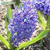 Light Purple Hyacinth Seeds Plant Seeds Hyacinthus Orientalis Flower Seeds 50 Seeds #32679406119ST