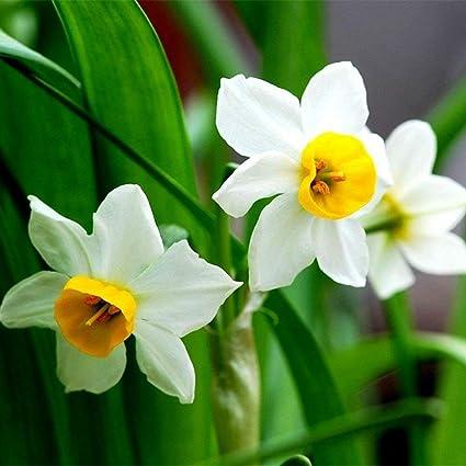 Amazon 5 white daffodil flower bulbs narcissus spring plant 5 white daffodil flower bulbs narcissus spring plant flower scented daffodil garden mightylinksfo