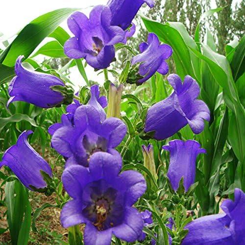 Semillas de flor, multicolor, (Campanula) Percisifolia mejores plantas para jardines Cottage Tough Gran perennes para corte 20 semillas / paquete A2: Amazon.es: Hogar