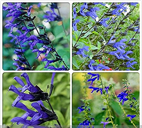 (Seeds Market Rare Black and Blue' Salvia guaranitica Sage Perennial / Annual Flower Seeds, Professional Pack, 30 Seeds / Pack)