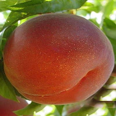 "5 Cutting Sugar Princess Peach Fruits 8"" Tree Fresh Cutting pre-Root Outdoor Garden tkeen : Garden & Outdoor"