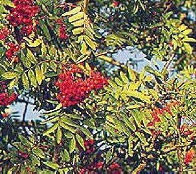 European Mountain ash Rowan fruit tree with berries Nice Tree LIVE PLANT