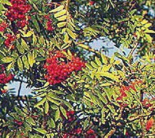 - European Mountain ash Rowan fruit tree with berries Nice Tree LIVE PLANT