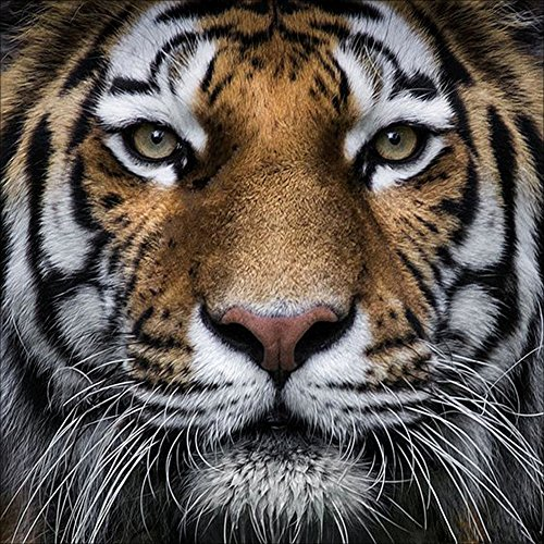 DIY 5D Diamond Painting Kits Full Drill Round Crystal Rhinestone Embroidery Pictures Arts Craft for Home Wall Decor Gift Tiger 12x12in ()