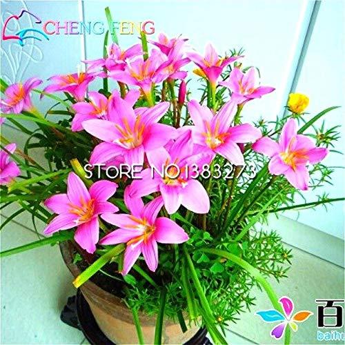 PlenTree 30pcs rose pluie Lily de bonsaï Prettys Rare Mini ...