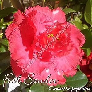 Kamelie 'Fred Sander' - Camellia japonica, Grupo de precio:4