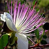 10PCS European Capparis Spinosa Seed Spice Plant