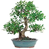 Brussel's Golden Gate Ficus Bonsai - XX Large - (Indoor)