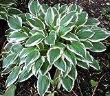 5 Rhizome Bare Root of Hosta 'Undulata Albomarginata'