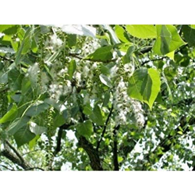 40 Eastern Cottonwood Seeds #RDR02 : Garden & Outdoor