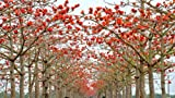 red cotton - Bombax ceiba Fast - showy Tree - Tree Seeds (5)