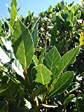 Laurus nobilis - 'Bay Leaf Tree' - Bay Laurel or Sweet Bay - Live Plant