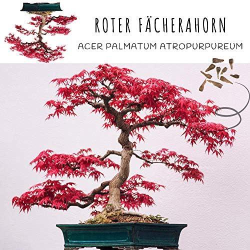 Graines de Bonsai exotiques avec un taux de germination élevé - Set de graines de plantes pour votre propre arbre de Bonsaï (Mélange de 5 incl. eBook GRATUIT)