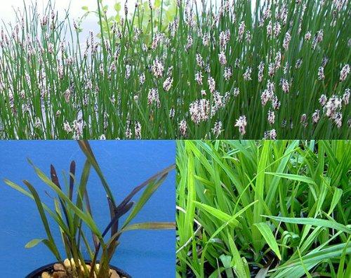 25 Filterpflanzen im Sortiment Teichpflanzen Teichpflanze Filterpflanzen