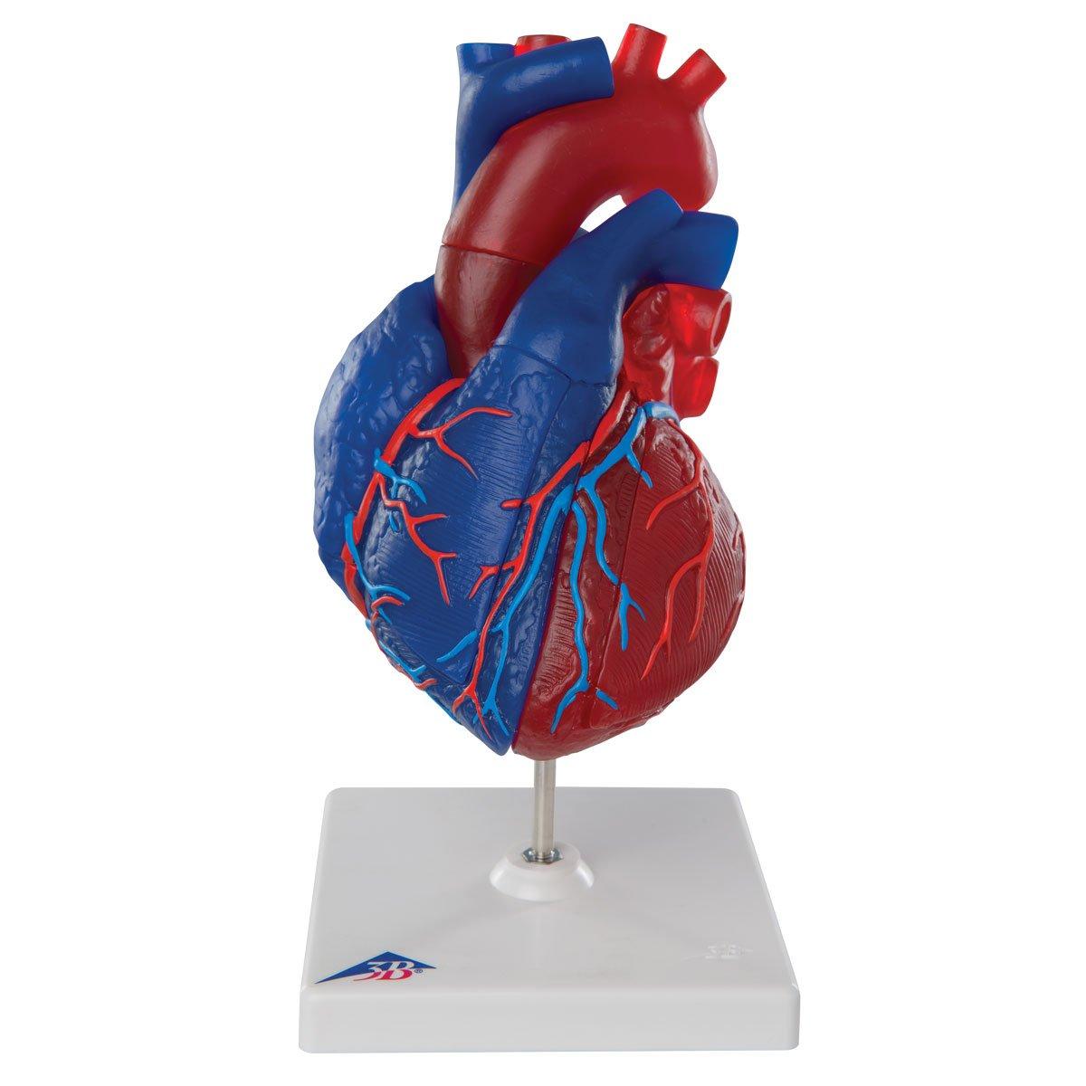 国内発送 心臓,実物大5分解モデル,動静脈血区分 B007NCV4SU B007NCV4SU, 雛人形 五月人形 鯉のぼりの久宝堂:19c4ebf3 --- a0267596.xsph.ru