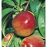 Red Gold Nectarine Fruit Tree Orchard Jelly - Hardy 1 Gallon Trade Pot - 1 each