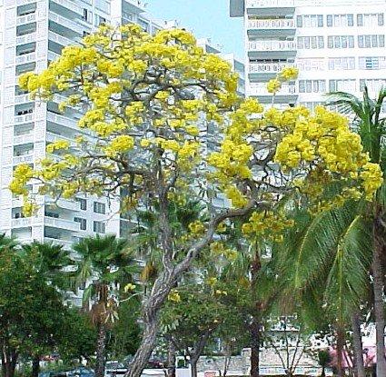 Amazon golden trumpet tree 20 seeds tabebuia tropical golden trumpet tree 20 seeds tabebuia tropical mightylinksfo