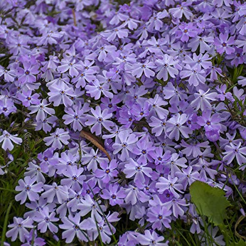 (Phlox Emerald Blue (Creep)> Phlox subulata 'Blue Emerald'> Landscape Ready 1 Gallon Container)