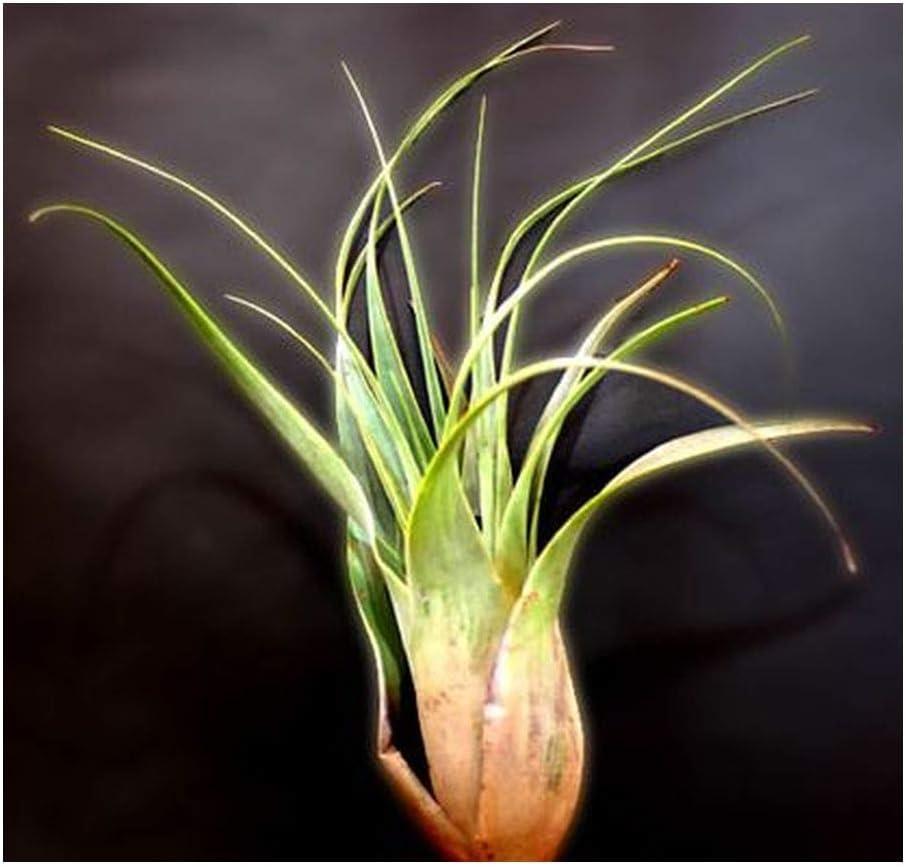 Tillandsia rotundata 5 graines Bromeliaceae
