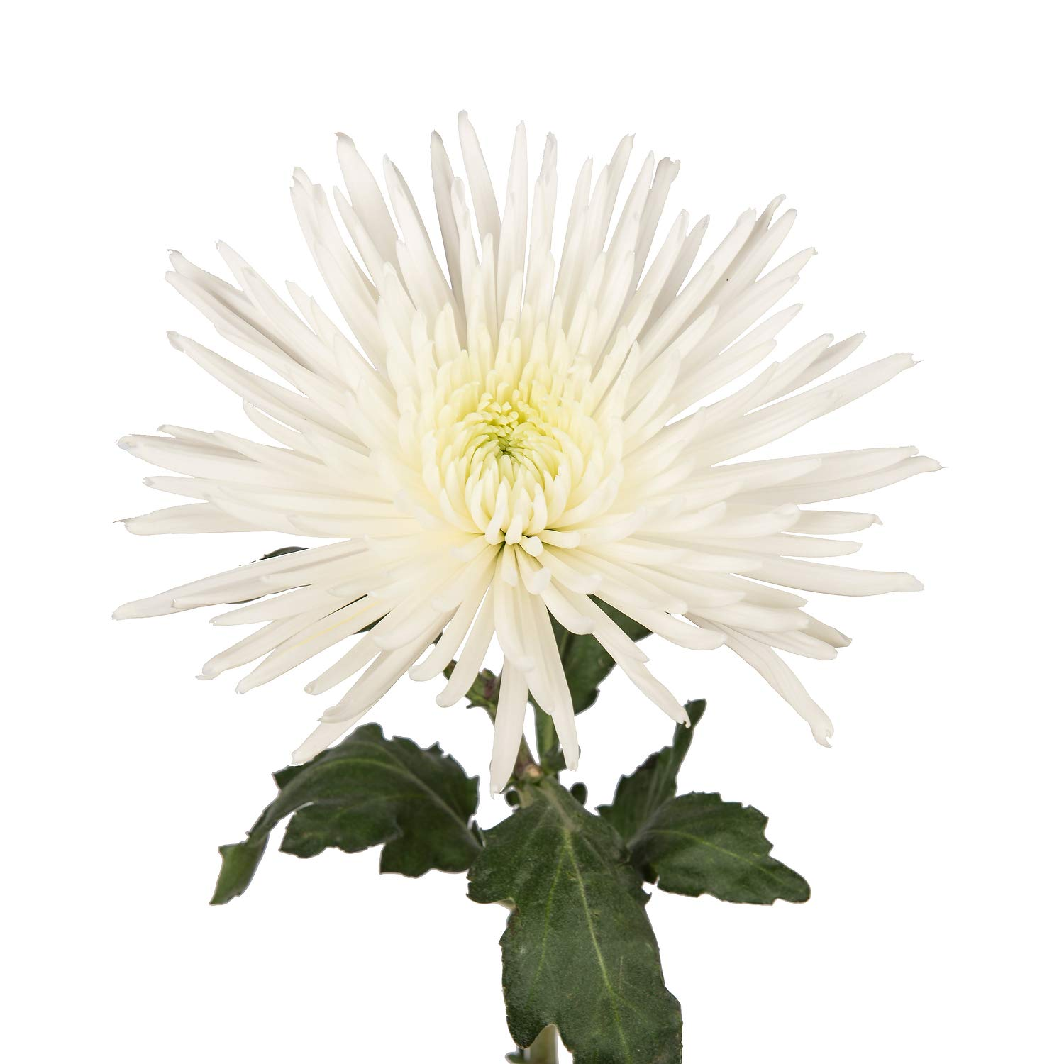 Farm Fresh Natural White Spider Mums - 60 Stems by Bloomingmore