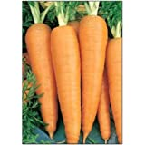 750 Danvers 126 Carrot Seeds | Non-GMO | Fresh Garden Seeds