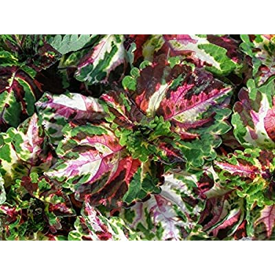 15 Pelleted Seeds Coleus Kong Mosaic Giant Coleus Seeds : Garden & Outdoor