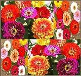 250 Pumila Mix Zinnia elegans Zinna Seeds - Pompon Cut & Come Again Zinnia - Zone 3 - 10 - Only 2 Feet Tall - Excellent Cut Flowers