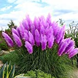 Gotoole Pampas Grass Cortaderia Selloana Flower Rare Reed Seeds Garden Plant 1000Pcs (Purple)