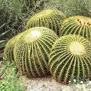 Seeds ECHINOCACTUS GRUSONII GOLDEN BARREL CACTUS 50