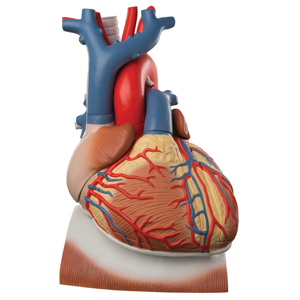 心臓,横隔膜付,3倍大10分解モデル   B007NCWDRG