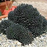 Sinocrassula 'Yunnanensis' -Live Plant - Cactus Succulent Live Plant