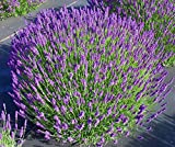 Findlavender - Lavender HIDCOTE BLUE (Dark Purple Flowers) - 4