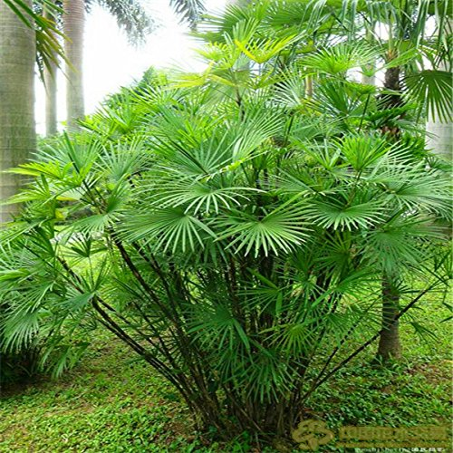 HOO PRODUCTS - Palm bamboo Seeds Home Gardening Wholesale 30pcs/lot garden seeds Brand New ! Bamboo Palm Seeds
