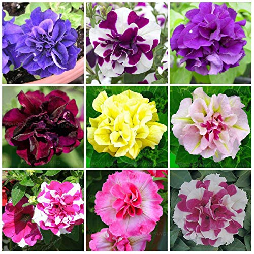 MAYAGREEN 200 pcs Rare Beautiful Petunia Flower Colorful Double Petunia Plants earsy to Grow Bonsai Tree Flower for Garden Black(Seeds Only) ()