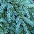 Tree Seeds - 20 Seeds of Blue Douglas Fir, Pseudotsuga menziesii glauca (Fragrant Evergreen)