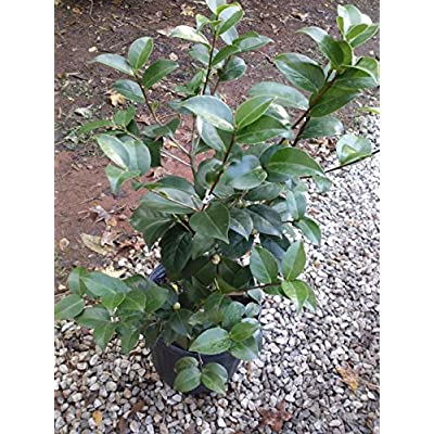 (3 Gallon) Camellia 'Yuletide' - Single Red Blooms with Striking Yellow Stamens : Garden & Outdoor