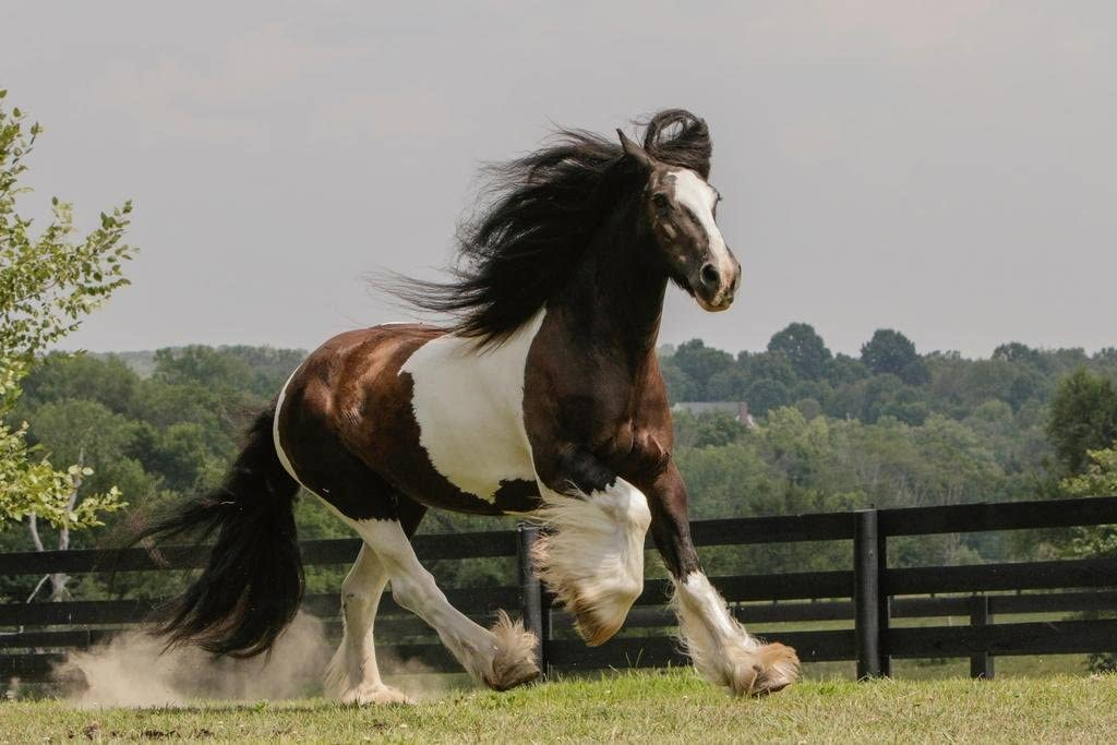 Gypsy Vanner Horse Running in Field Photo Photograph Cool Wall Decor Art Print Poster 24x36