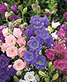 Campanula medium Cup and saucer Flower Seeds