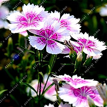 Amazon 200pcs pink dianthus seeds carnation seeds perennial 200pcs pink dianthus seeds carnation seeds perennial flowers potted plants white sweet william flower bonsai 12 mightylinksfo